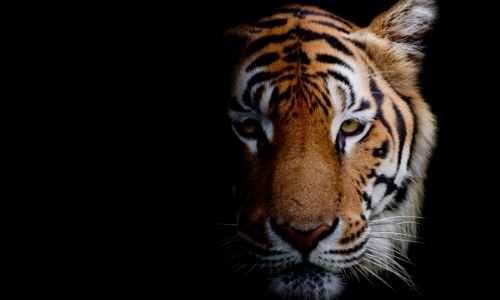 Kinesisk nytår Tigerens år